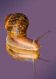 Common Garden Snail Stock Photos