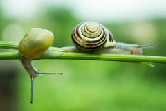 Common garden snail crawling on green stem of plant Royalty Free Stock Photography