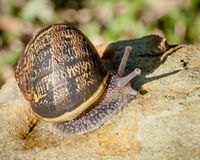 Common Garden Snail Surrounded by Bubbles on Rock Stock Image