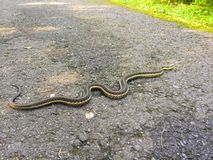 Common garden snake crossing the road Stock Image