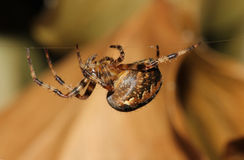 Common Garden Spider (Araneus diadematus)walking along web Stock Photo