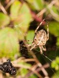 Common garden spider hanging on web close up royalty free stock photo
