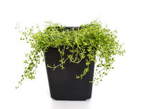 Common Garden Thyme Royalty Free Stock Photography