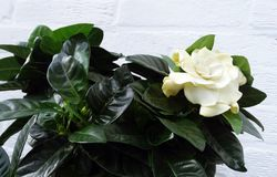 Common Gardenia Flower. A small gardenia bush with one flower in front of a white brick wall royalty free stock images