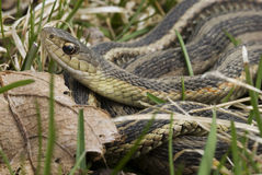 Common Garter Snake Royalty Free Stock Photos