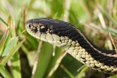 Common garter snake. Macro of common garter snake in the grass Royalty Free Stock Photo