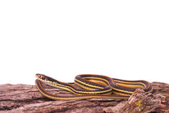 Common Garter Snake Royalty Free Stock Images
