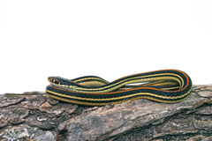 Common Garter Snake Stock Photos