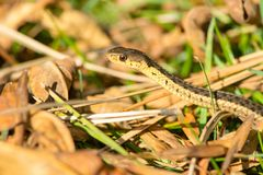 Common Garter Snake Stock Photo