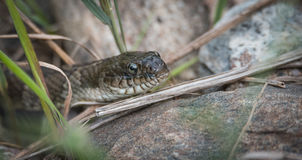 Common Garter snake.  This one has a dent in its nose. Stock Photos
