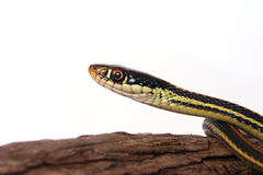 Common Garter Snake Stock Photography