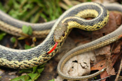 Common Garter Snake Thamnophis sirtalis Royalty Free Stock Photography