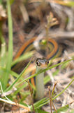 Common Garter Snake (Thamnophis sirtalis). In grass Stock Images