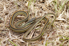 Common Garter Snake (Thamnophis sirtalis). The Common Garter Snake (Thamnophis sirtalis) is an indigenous North American snake found widely across the continent Royalty Free Stock Images