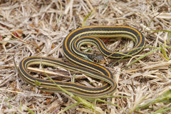 Common Garter Snake. The Common Garter Snake (Thamnophis sirtalis) is an indigenous North American snake found widely across the continent. Most garter snakes Stock Image