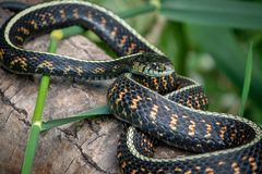 Common garter snake up close stock images