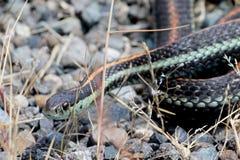 Common Garter Snake Stock Photography