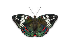 Common Gaudy Baron butterfly Royalty Free Stock Images