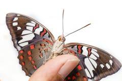 Common Gaudy Baron butterfly  Euthalia lubentina  on human fin Royalty Free Stock Photography