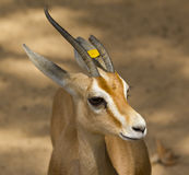 Common gazelle. View of the head of a gazelle Stock Photography