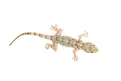 Common gecko Stock Image