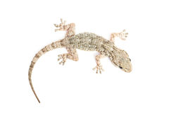 Common gecko Stock Images