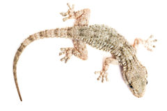 Common gecko Stock Photo