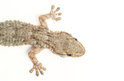 Common gecko Royalty Free Stock Image