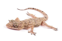 Common gecko Royalty Free Stock Images