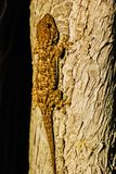 Common gecko in the trunk of a tree. Common gecko reptile on the bark of a tree taking the sunset sun stock photos