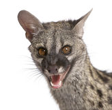 Common Genet against white background royalty free stock photography