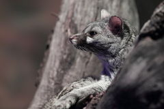 Common genet Royalty Free Stock Images