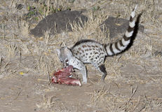 Common genet eating a bait Royalty Free Stock Photo