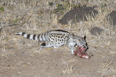 Common genet (Geneta geneta) eating a bait Stock Photo
