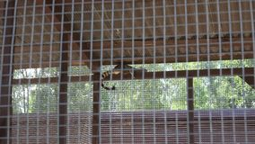 Common genet genetta animal lie high on zoo cage. Zoom in. stock video footage