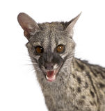 Common Genet - Genetta genetta Royalty Free Stock Image