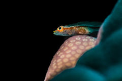 Common ghostgoby on porites coral Stock Photography