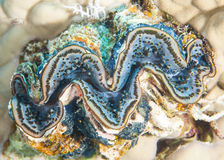 Common giant clam on coral reef Royalty Free Stock Photo
