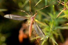 Common giant mosquito Stock Photo