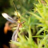 Common giant mosquito Stock Photography