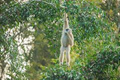 Common Gibbon. Or White-handed Gibbon on the fig tree. Khao Yai National Park. World Heritage Site royalty free stock photo