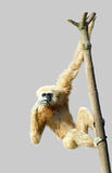 Common gibbon or white-handed gibbon Stock Photography