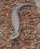 Common gigantic lizard Tiliqua scincoides of plate-tailed lizard Stock Image