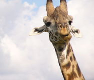 Common Giraffe on the Massai Mara. Portrait of giraffe taken on the Massai Mara, Kenya Stock Photography