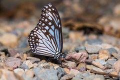 Common Glassy Tiger. Close up of Common Glassy Tiger (Parantica aglea) butterfly puddling on the ground in nature stock photography