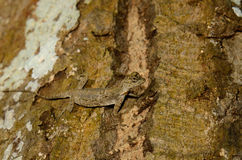 Common Gliding Lizard or Common Flying Drago(Drago volans) Royalty Free Stock Photos