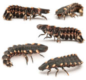 Common glow-worm of Europe, Lampyris noctiluca. In front of white background Stock Photography