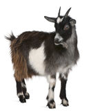 Common Goat from the West of France. Capra aegagrus hircus, 6 months old, in front of white background stock photography