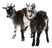 Common Goats From The West Of France Stock Photography