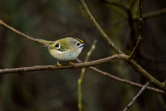 Common Goldcrest Royalty Free Stock Images